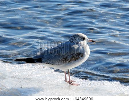 Gull on ice near a shore of the Lake Ontario in Toronto Canada January 6 2017