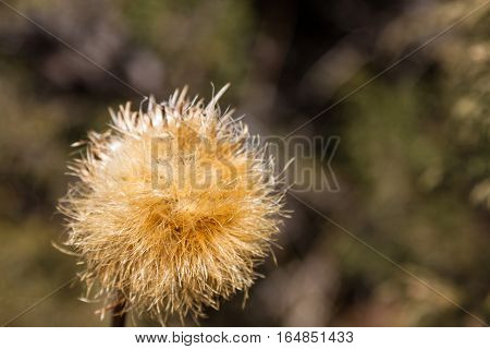 Thistle On Blurry Background