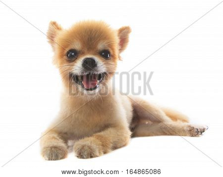 lovely acting of pomeranian puppy dog isolated white background use for pets adorable animals theme