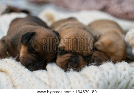 Small dachshund puppies, play, sleep. Beautiful kids.