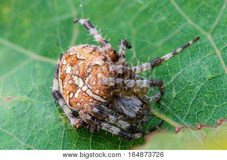 The female spider araneus sitting in his nest