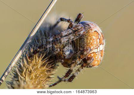 The Female Spider Araneus