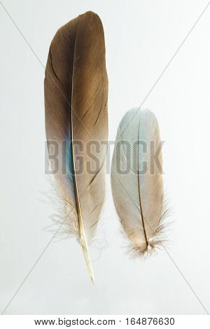 Two feathers of European roller Caracius garrulus isolated on white