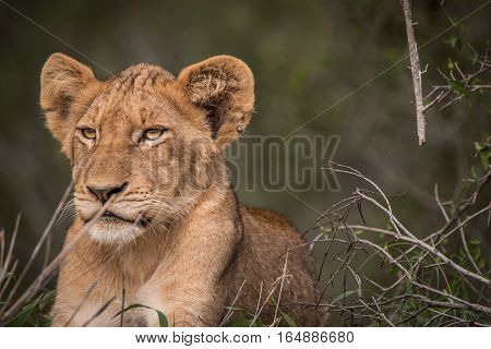 Lion Cub Resting In The Grass.