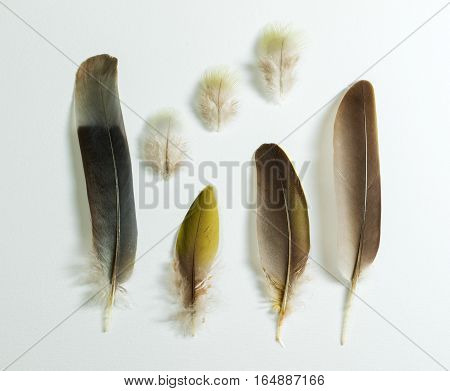Seven feathers of Treron waalia Bruces green pigeon on white