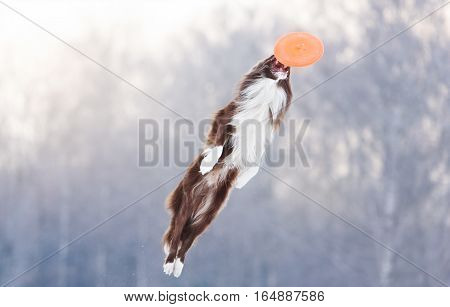 Border Collie in acrobatic position caught orange flying disk in the air