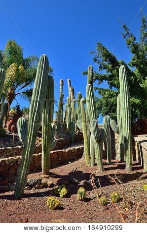 Gran Canaria. Cactus garden nearby foothills of mountain