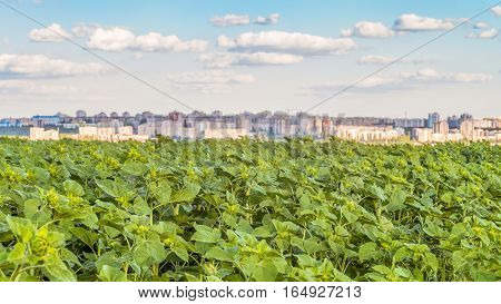 Field of young green sunflowers on blurred background of the city skyline. Agricultural background.