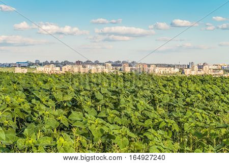 Plantation of young green sunflowers on blurred background of the city skyline. Agricultural background.