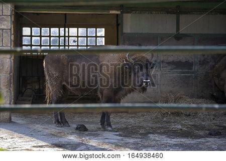 European bison (Bison bonasus) behind a fence. In Zagreb Zoo, Croatia.