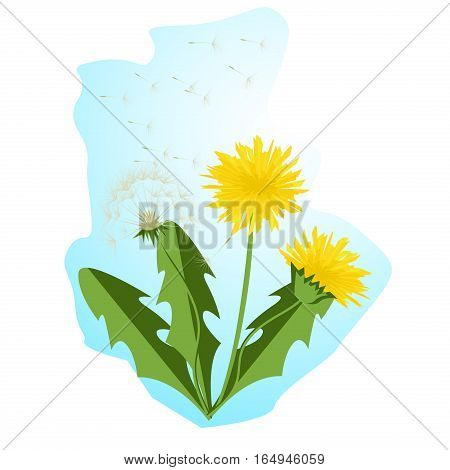 Vector illustration dandelions with leaves flower meadow. Summer flower natural season beautiful yellow dandelion. Dandelion vector icon blowing garden botany floral logo.