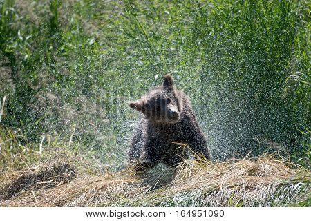 Alaskan Brown Bear Cub Shaking