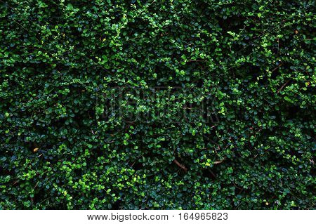 Backdrop of green leaves natural wall seamless.