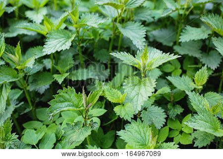 green natural background summer nettle, spring nature