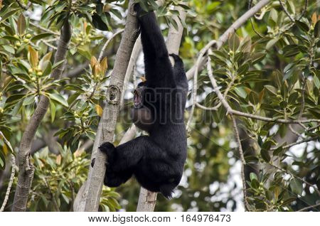 the siamang monkey is bellowing to the other monkeys