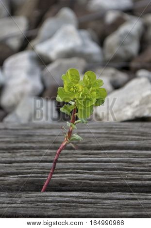 Lonely green flower, peaking form railway tie