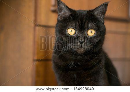 Portrait of Shorthair scottish cat.  Beautiful cat.