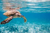 stock photo of sea-turtles  - Hawksbill sea turtle swimming in Indian ocean in Seychelles - JPG