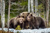 She-bear And Bear-cubs. Adult Female Of Brown Bear (ursus Arctos) With Cubs On The Snow In Spring Fo poster