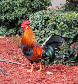 image of leghorn  - Cage  free rooster (breed name is Brown Leghorn)