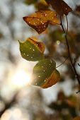 Постер, плакат: Осенняя листва осенние листья очень мелкой DOF contrejour освещение