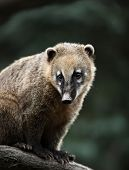 picture of coatimundi  - Close - JPG