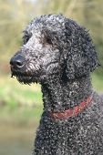 Perfect Poodle Portrait
