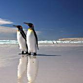 picture of falklands  - Two King Penguins at Volunteer Point on the Falkland Islands - JPG