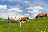 stock photo of farm-house  - New house and cow on green field - JPG