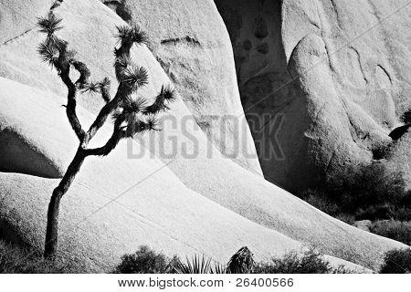 joshua tree against rocks - joshua tree national park, california. converted to black and white.