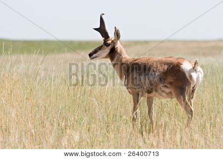 pronghorn antelope in natural environment, wyoming