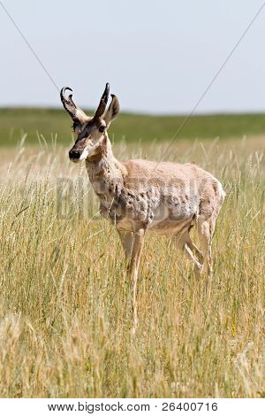 antelope (pronghorn) in its natural environment, wyoming