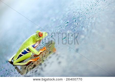 frog climbing up wet glass plane, a red-eyed tree frog (Agalychnis callidryas) closeup
