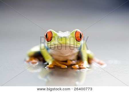 frog closeup - a red-eyed tree frog (Agalychnis callidryas) macro with focus on eyes