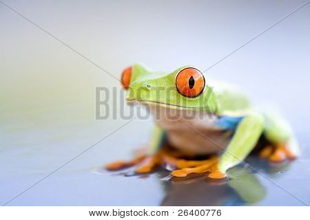 frog on wet metal - a red-eyed tree frog (Agalychnis callidryas) close up with copyspace