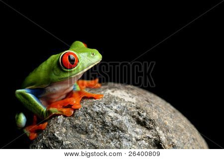 frog on a rock - a red-eyed tree frog (Agalychnis callidryas) closeup and isolated on black