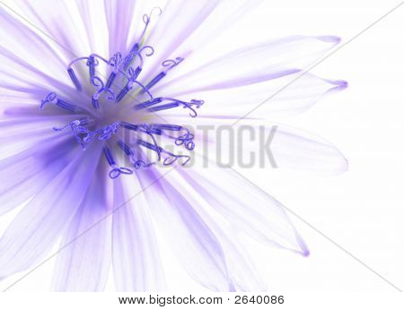 Blue Corn Flower