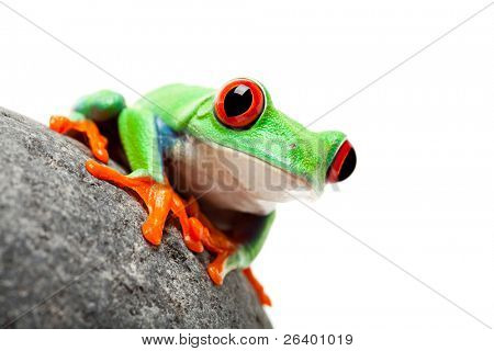 red-eyed tree frog on a rock isolated white