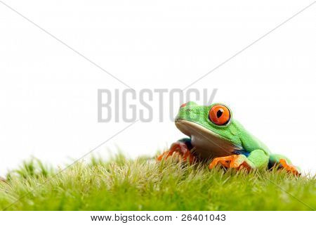 frog on natural moss isolated on white background - red-eyed tree frog (Agalychnis callidryas)