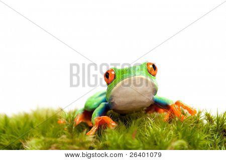 sad frog sitting on moss isolated on white background.