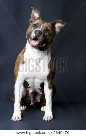 Cute Stafford Terrier