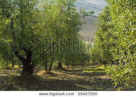 Plump Italian olive tree landscape 34. See more in my portfolio