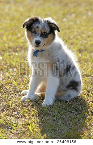 Australian Shepherd aussie puppy dog in the sun 02