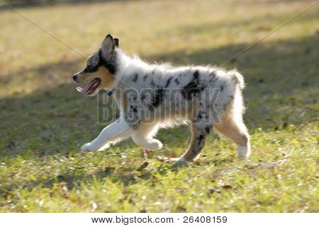 Australian Shepherd aussie puppy in the sun 03