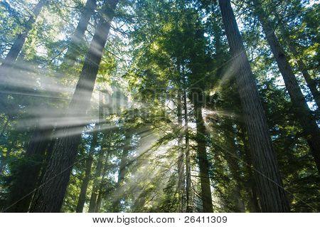 Beautiful light rays blasting through huge redwood trees