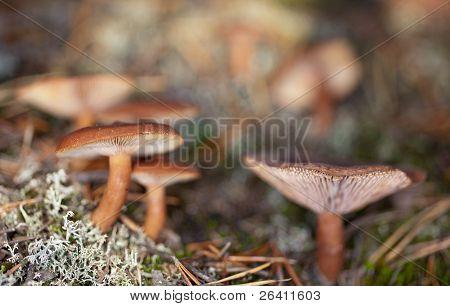 Lactarius Rufus