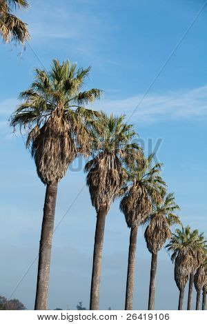 A row of palm trees with blue sky