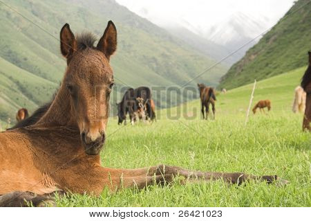 colt in mountain pasture