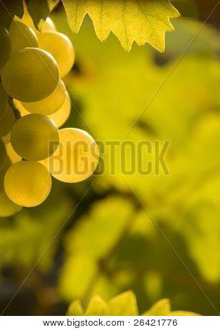 vines grapes