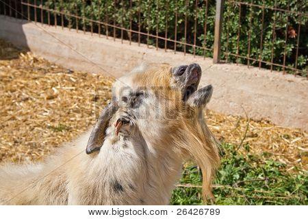 Light He-goat In Small Pen